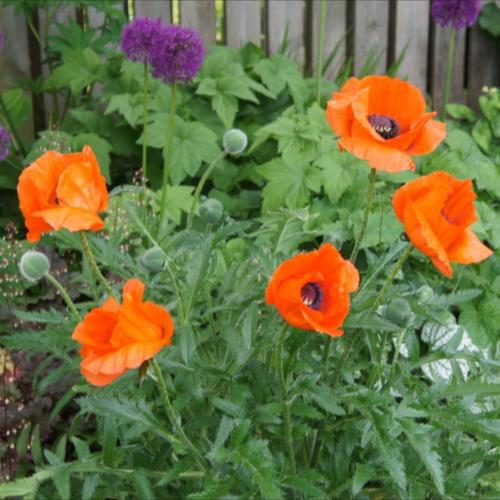 Poppies+Alliums
